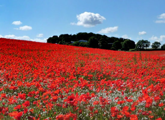 COPYRIGHT EXPRESS & STAR ( JOHN SAMBROOKS )  Picture of poppy field near Wall Heath, Dudley.  For Dudley Chronicle